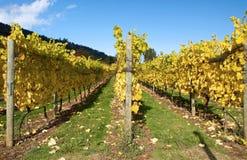 Outono em um vinhedo Fotografia de Stock