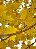 outono Folhas de plátano amarelas Foto de Stock