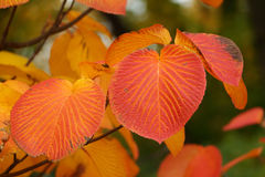 outono Folhas vermelhas Fotografia de Stock