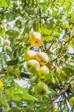 outono Maçãs verdes na árvore de maçã Foto de Stock