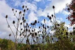 outono no dia ensolarado, grupo secado do cardo Imagens de Stock Royalty Free
