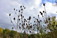 outono no dia ensolarado, grupo secado do cardo Foto de Stock Royalty Free