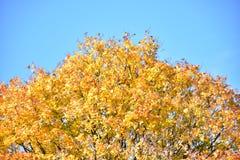 outono no dia ensolarado, parque, árvore amarela Imagem de Stock