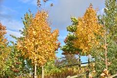 outono no dia ensolarado, parque, árvore amarela Fotos de Stock