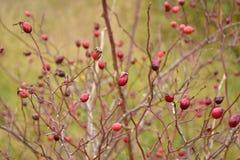 outono no dia ensolarado, planta secada, frutos vermelhos Imagem de Stock