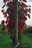 Outono no vinhedo Imagem de Stock