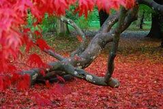 Outono no westonbirt Fotos de Stock