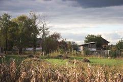 outono O milho amadureceu-se Imagens de Stock