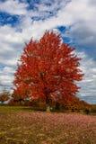 outono, paisagem da queda Árvore com folhas coloridas Árvore vermelha da queda Imagem de Stock Royalty Free