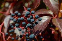 outono selvagem do vinho Fotos de Stock Royalty Free
