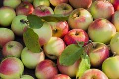 outono Uma coleção de maçãs maduras Imagens de Stock Royalty Free