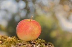 outono Uma maçã em um fundo borrado Fotografia de Stock Royalty Free