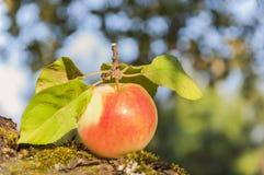 outono Uma maçã em um fundo borrado Fotografia de Stock