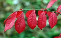 outono vermelho brilhante Fotografia de Stock