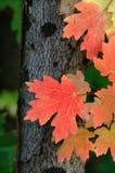 Outono vermelho das folhas de plátano Fotografia de Stock