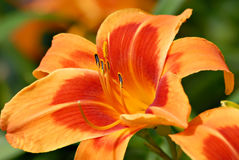 Outrageous Daylily Royalty Free Stock Images