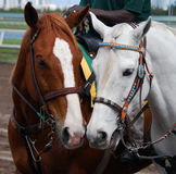 Outrider Ponys da pista imagem de stock