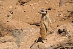 Outs di sguardo di Meercat fotografia stock libera da diritti