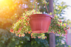 An outside basket filled with vibrant pink petunias Royalty Free Stock Photography
