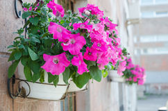 Outside basket filled with vibrant pink petunias. Stock Photo