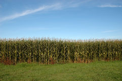 Outside of a corn field. Corn field on bright sunny day Royalty Free Stock Images