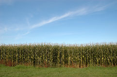 Outside of a corn maze. The edge of a corn maze on bright sunny day Stock Image
