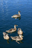 The outside duck. Stock Images