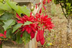 Poinsettia Branch Hanging Over royalty free stock photos