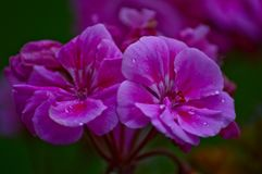 Flowers in the autumn rain. Outside photo from a pink flower Royalty Free Stock Image