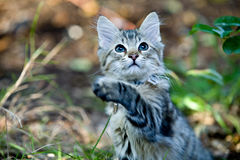 Outside Portrait of a cute kitten playing Stock Photography