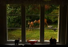 Free Outside The Window Stands A Deer Female, With Her Baby Stock Photos - 159043173