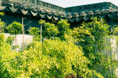 Outside the walls of bamboo growth Stock Image