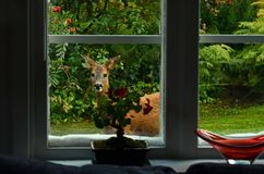 Outside the window stands a deer female