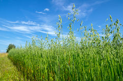 Outskirts oat field Stock Photography