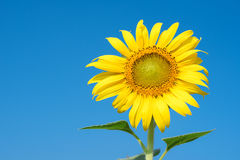 Outstanding flower Royalty Free Stock Photo