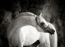 Outstanding graceful white arabian stallion with long neck monoc Stock Photos
