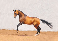 Outstanding pureblood akhal-teke horse plays. In paddock Royalty Free Stock Photography