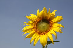 Outstanding Sunflower Stock Photos