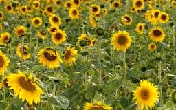 Outstanding sunflower Stock Image