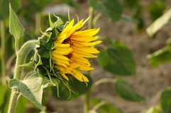 Outstanding sunflower Royalty Free Stock Images