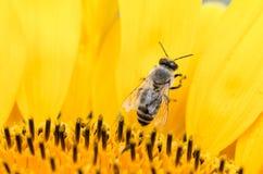 Outstanding sunflower Stock Photo