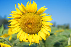 Outstanding sunflower Stock Images