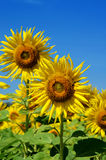 Outstanding sunflower with day light and blue sky background Royalty Free Stock Photography