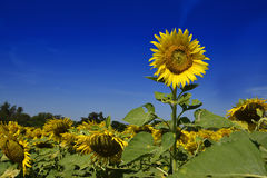 Outstanding Sunflower farm with day light and blue sky Stock Photos