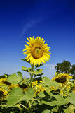 Outstanding Sunflower farm with day light and blue sky Royalty Free Stock Photos