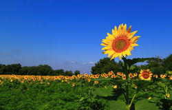 Outstanding Sunflower. Outstanding Tall Sunflower Field on Blue Sky Background Stock Photography