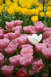 Outstanding white tulip among pink and yellow tulip Stock Images