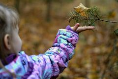 Outstretched hand of child. Wondering by spruce branch. Autumn fall. Kid`s interest. Dried leaf. stock photos