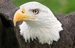 Outstretched Wings American Bald Eagle Stock Photo