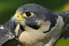 Outstretched Wings Peregrine Falcon Stock Photo